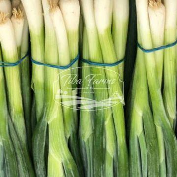 Photons Spring Onion